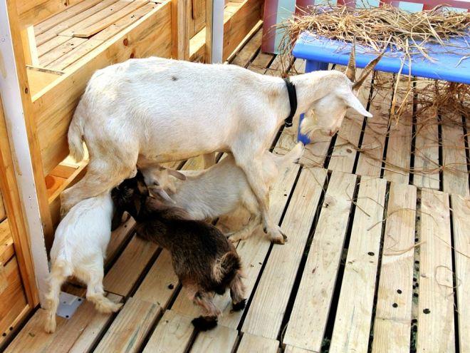 工作人員說這些小羊都是「本地」剛出世小孩羊;已經取命為「金沙」「雪沙」同「麥提沙」。