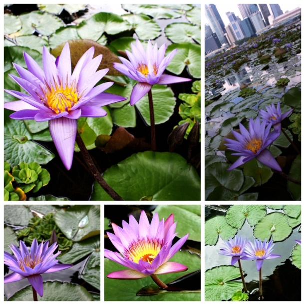 combo lotus