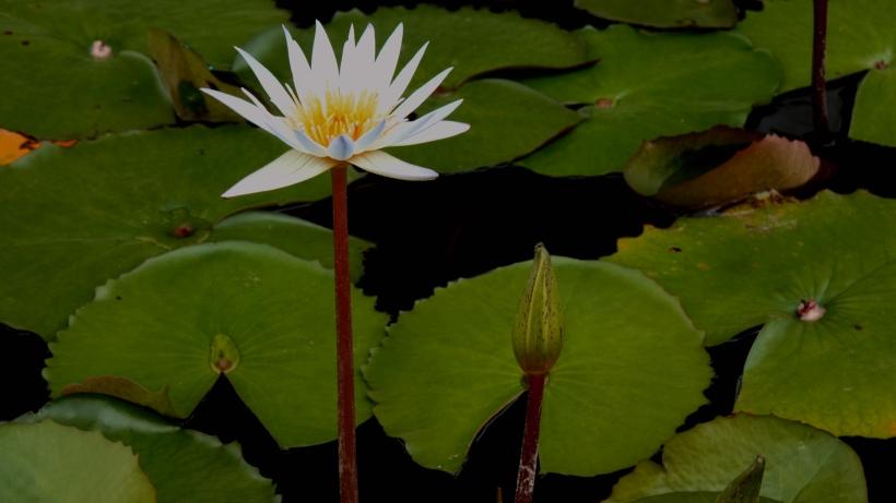 lotus (8)_副本