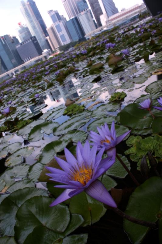 lotus (2)_副本